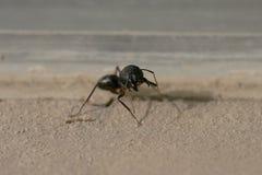 攻击的一只恼怒的蚂蚁 免版税图库摄影