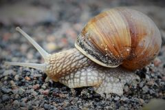 去的一只敏捷的蜗牛 免版税库存图片