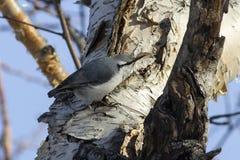 去的五子雀哺养在石桦树树干在森林里 免版税库存照片