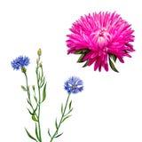 的亚述 桃红色花,春天花,黑矢车菊属花 免版税库存图片