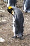 的企鹅国王繁忙-! 图库摄影