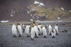 的企鹅国王群朝向在南乔治亚支持 库存图片