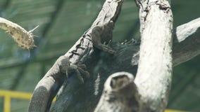 的关闭爬行在树枝关闭的监控蜥蜴  龙varan在野生动物园中 爬行动物,狂放的自然 通配 股票视频