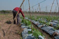 他的农厂黄瓜的农夫 免版税库存照片