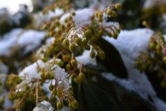 冻结的冰特写镜头宏指令包括的自然花种子 免版税库存照片