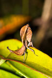 死的叶子螳螂边 库存照片