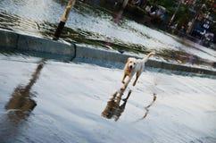 从洪水的哀伤的狗逃命 库存图片