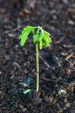 死的土壤的小植物 库存图片