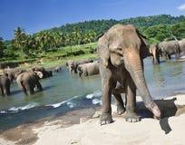 洗浴的大象牧群在晴天的粗砺的河 免版税库存图片