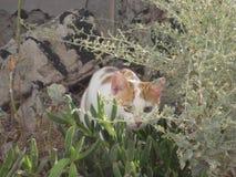 的姜和准备好白色的猫在圣托里尼,希腊突袭 免版税库存照片