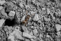 宏观蚂蚁 免版税库存照片