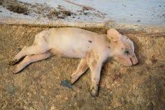 死的小猪 图库摄影
