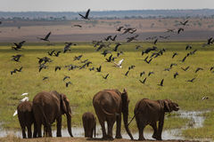 去的小组大象喝在沼泽区域在Tarangire 免版税库存照片