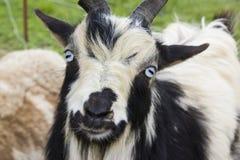 傻的山羊 免版税图库摄影
