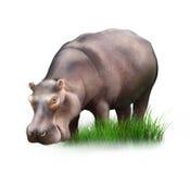 的巨大的河马吃草的观点。 免版税库存图片