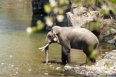 洗浴的巨大的musth tusker在Ramganga河,吉姆Corbett 库存图片