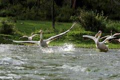 从水的巨大鹈鹕起飞与飞溅 免版税库存照片