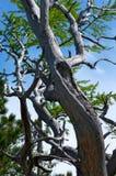 死的干燥杉树剪影反对蓝天背景的 免版税库存照片