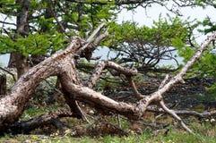 死的干燥杉树剪影反对蓝天背景的 库存照片