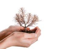 死的幼木在手中 免版税库存图片