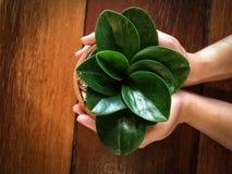 的手拿着泥罐的小盆的植物在木桌上 免版税库存图片