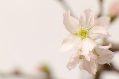 2的日本樱花关闭 库存照片