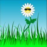 质朴的春黄菊 库存照片