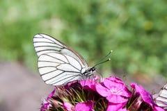 轻的晚餐概念 一只白色蝴蝶 库存图片