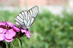 轻的晚餐概念 一只白色蝴蝶 免版税库存图片