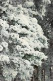 冻结的杉木分行 图库摄影