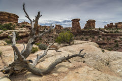 死的杜松树和峡谷在Canyonlands在犹他 库存图片