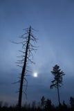 死的树和一棵生存树在日落,被定调子的图象 免版税库存图片