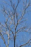 死的树和蓝天 免版税库存照片