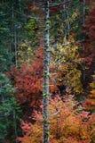 死的树在五颜六色的秋天森林里 免版税图库摄影