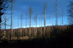 死的树在有蓝天的森林里 免版税库存照片
