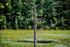 死的树在沼泽湖 免版税库存照片