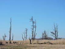 死的树在沼泽,立陶宛风景 库存图片
