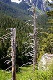 死的树在瑞尼尔山国家公园 图库摄影