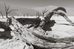 死的树在纳米比亚沙漠 库存图片