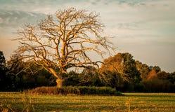 死的树在金黄小时 免版税图库摄影