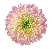 轻的桃红色-黄色花菊花,庭院花,白色隔绝了与裁减路线的背景 特写镜头 没有影子 绿色 免版税库存照片