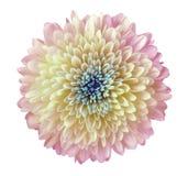 轻的桃红色-黄色花菊花,庭院花,白色隔绝了与裁减路线的背景 特写镜头 没有影子 蓝色c 库存照片