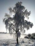 冻结的桦树 免版税图库摄影