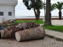 死的棕榈树 库存照片