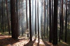 的森林雾太阳的光芒 免版税库存照片