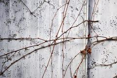 死的植物墙壁 库存图片