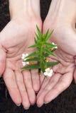 的植物手 免版税库存照片
