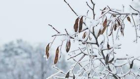 冻结的槭树分支冬天自然 股票视频