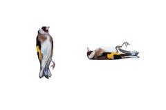 死的欧洲金翅雀 免版税库存图片