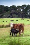 从他的母牛妈妈的小牛饲料 库存照片